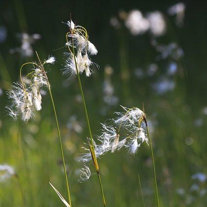 cotton-grass-3480738_640